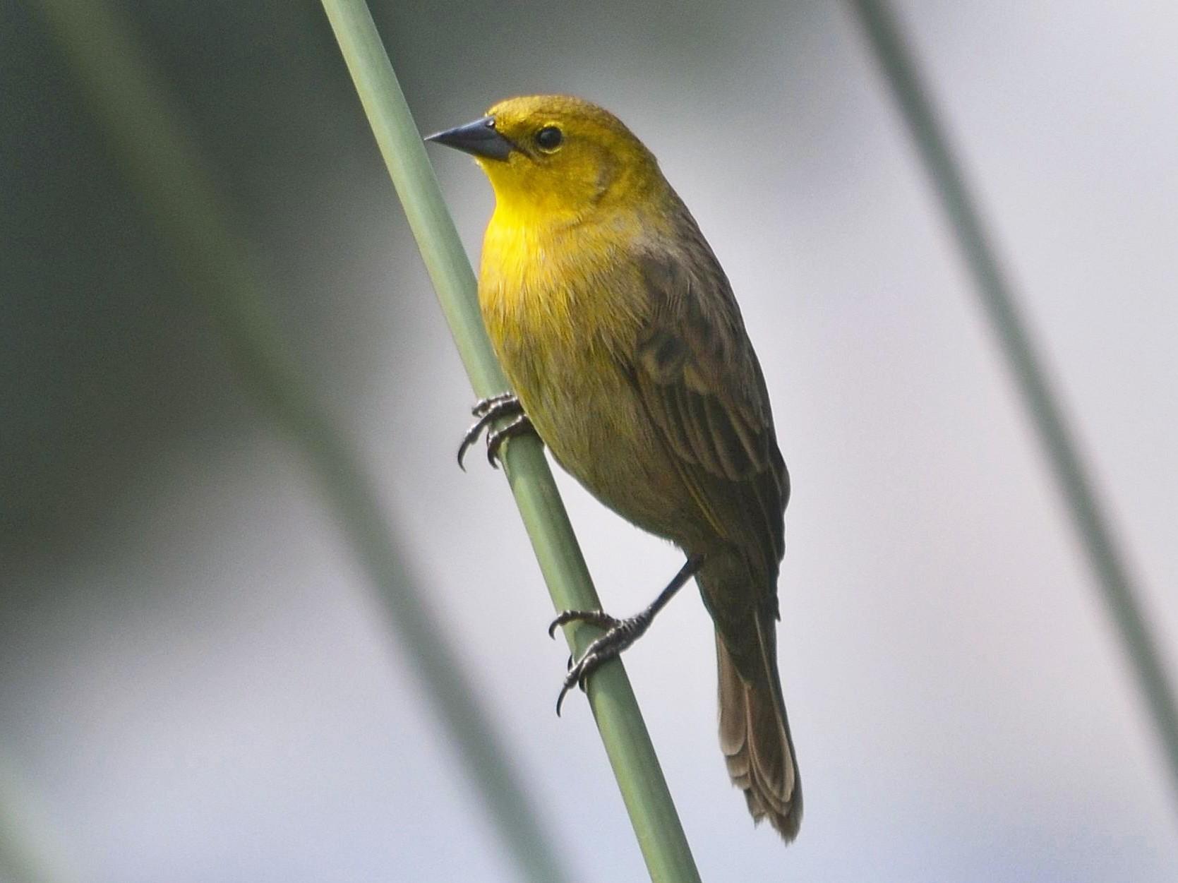 Yellow-hooded Blackbird - Neil Diaz