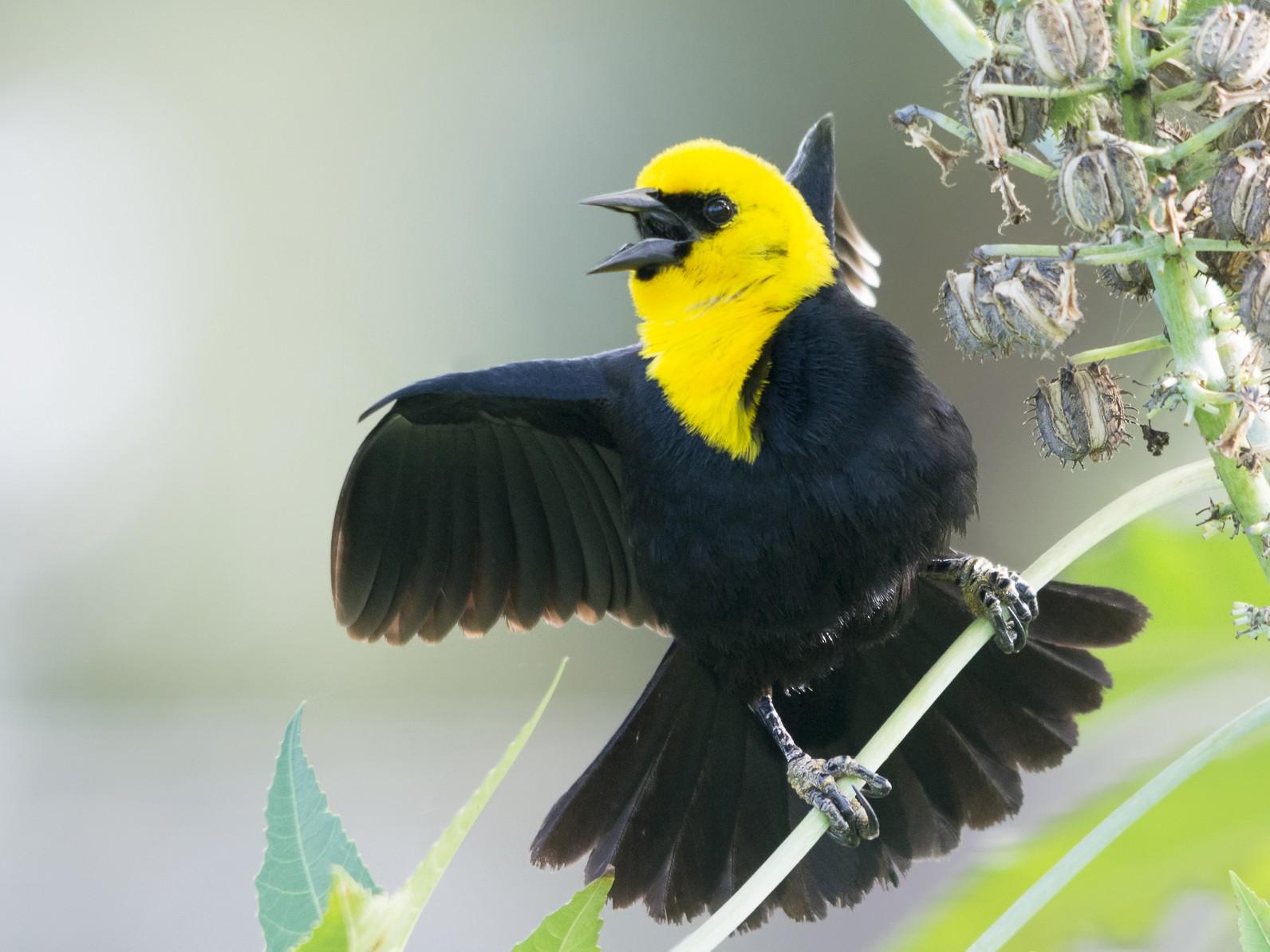 Yellow-hooded Blackbird - Jerome Foster
