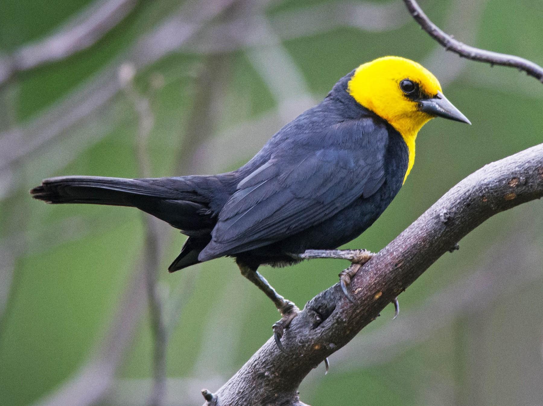 Yellow-hooded Blackbird - Derek Rogers