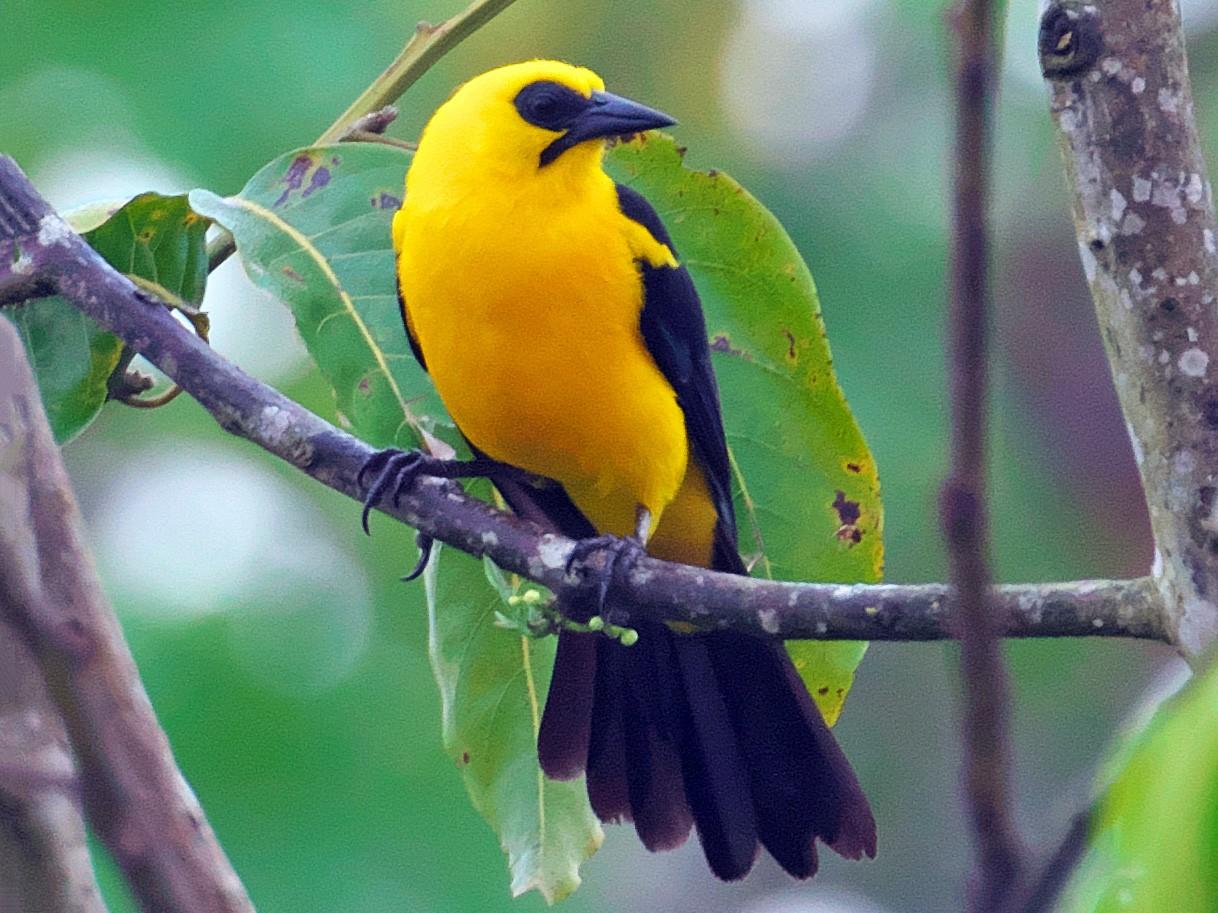 Oriole Blackbird - Paul Tavares