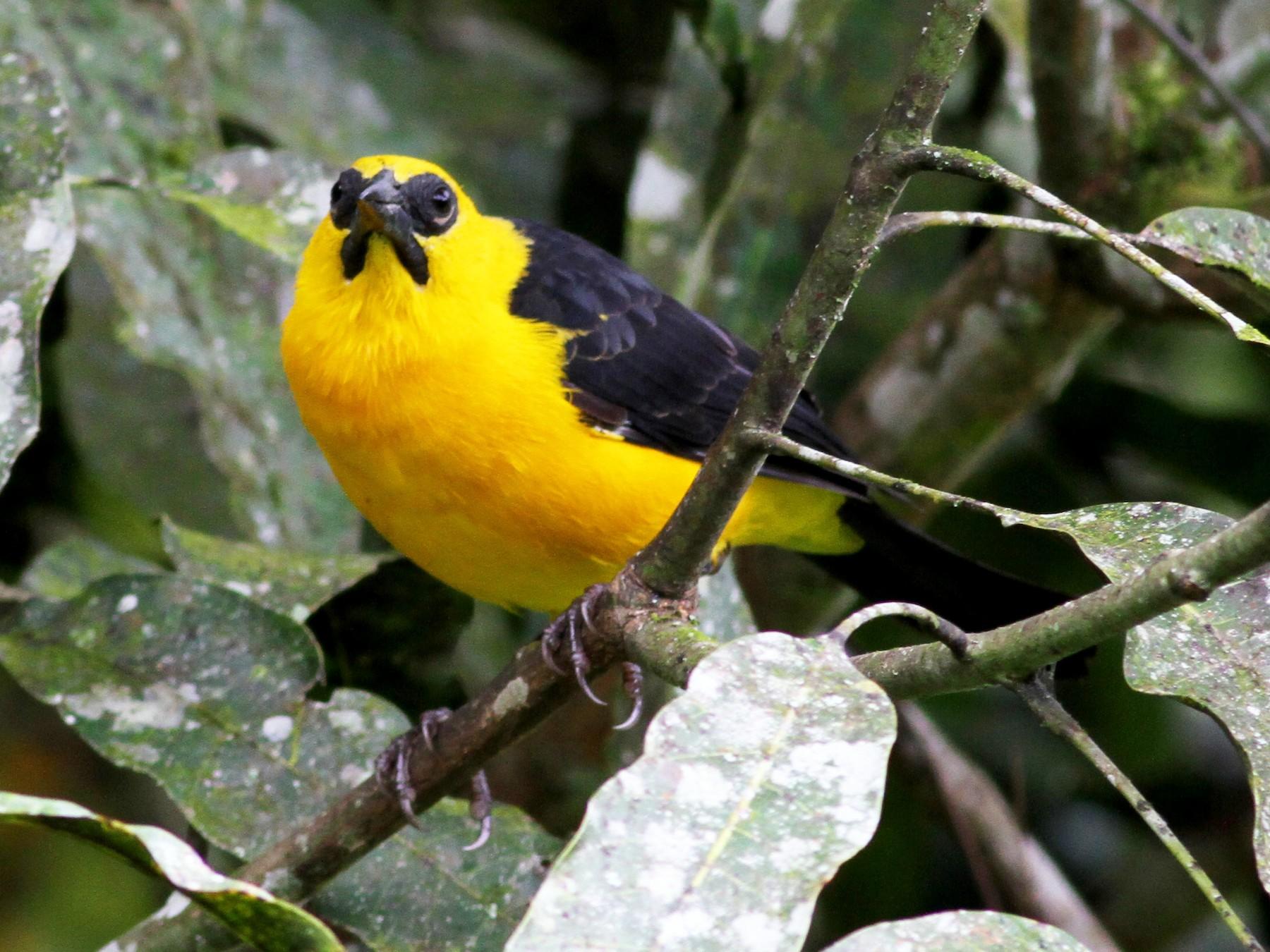 Oriole Blackbird - Jay McGowan