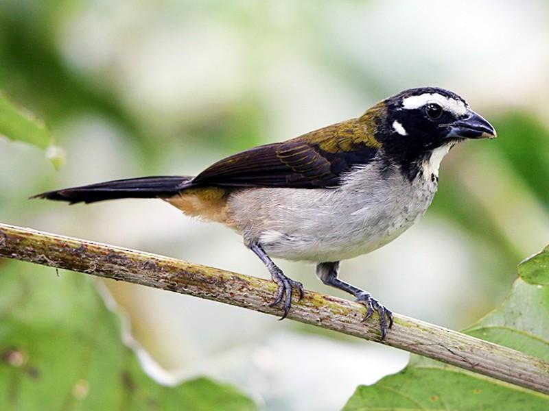 Black-winged Saltator - Tom Pavlik