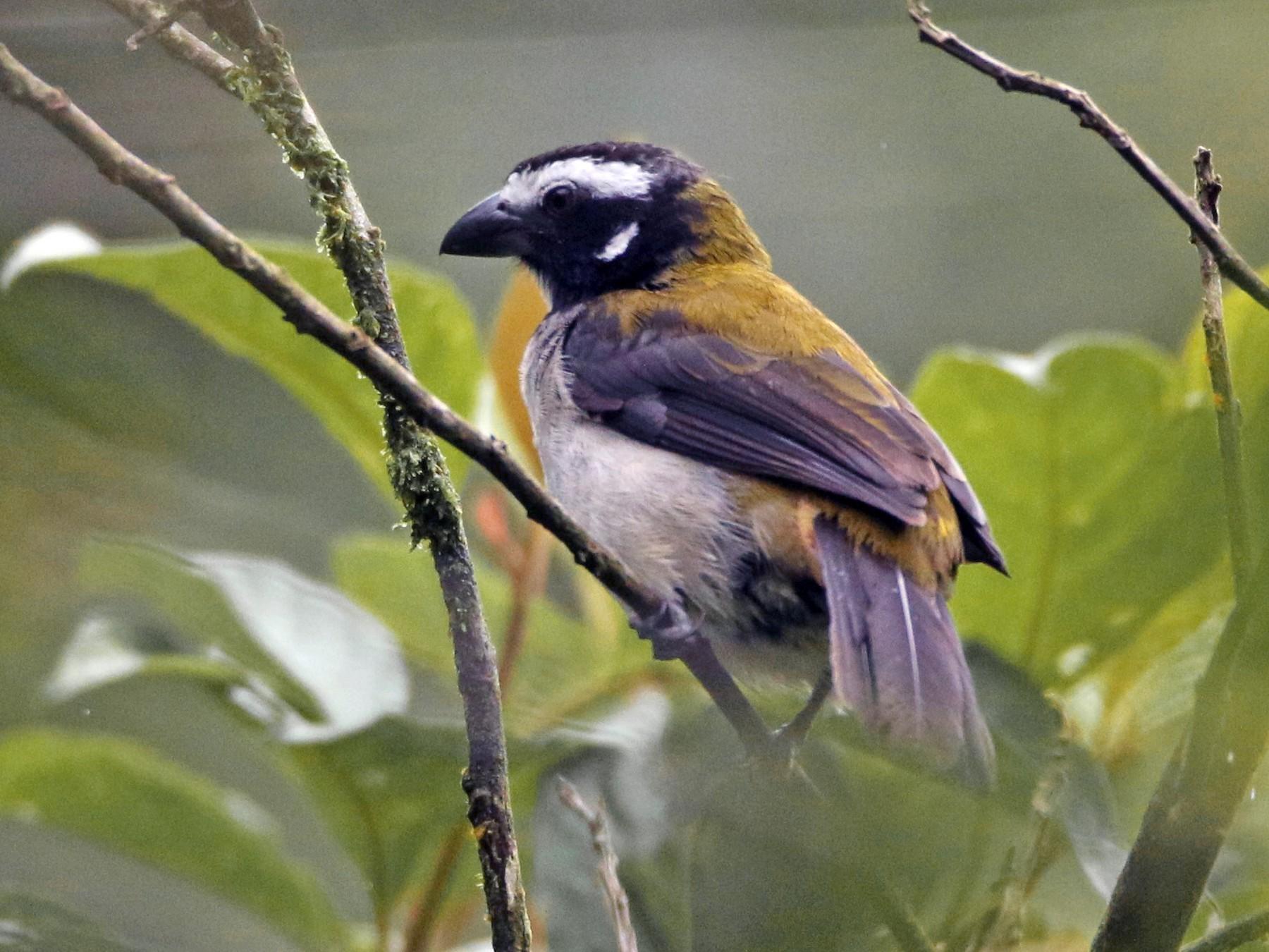 Black-winged Saltator - Loch Kilpatrick