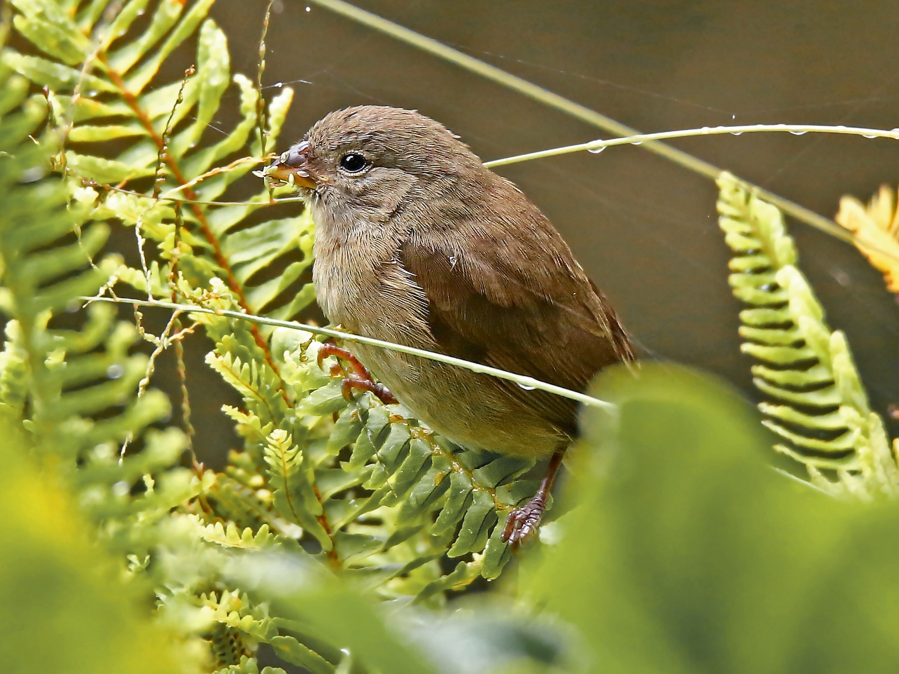 Dull-colored Grassquit - Roger Ahlman