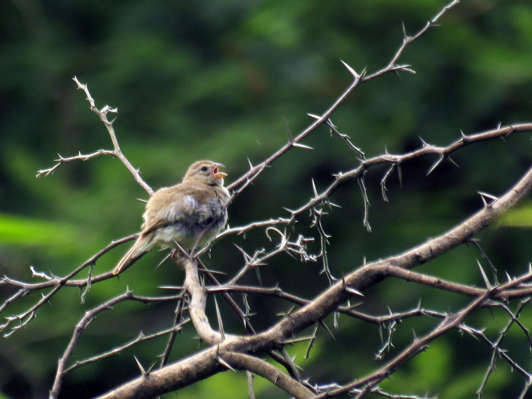 Dull-colored Grassquit - Manuel Roncal-Rabanal