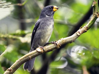 - Gray Seedeater