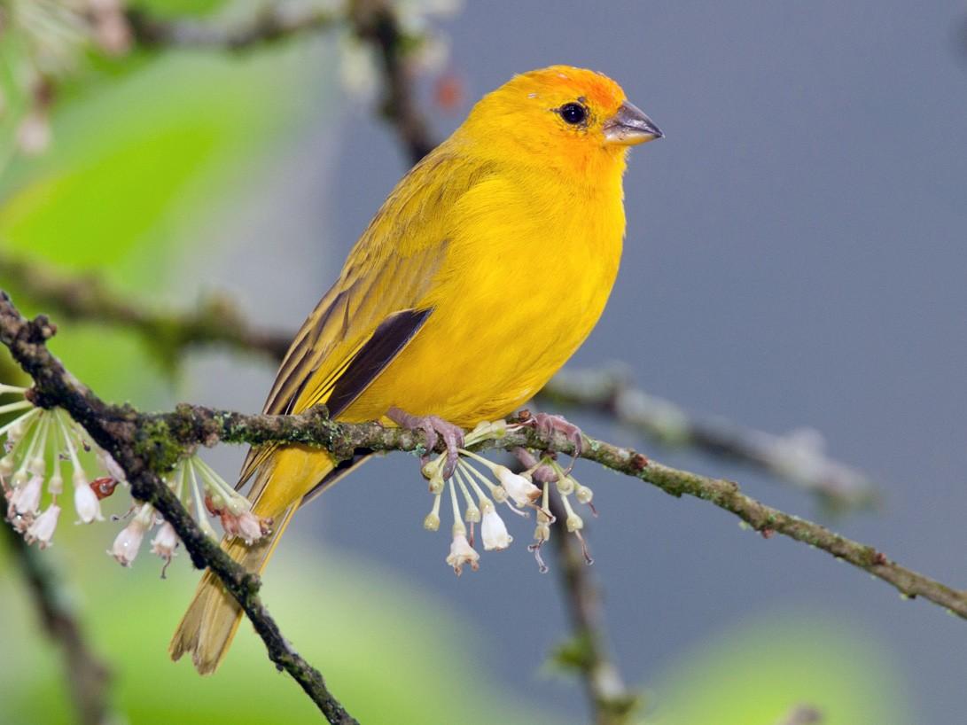Saffron Finch - eBird