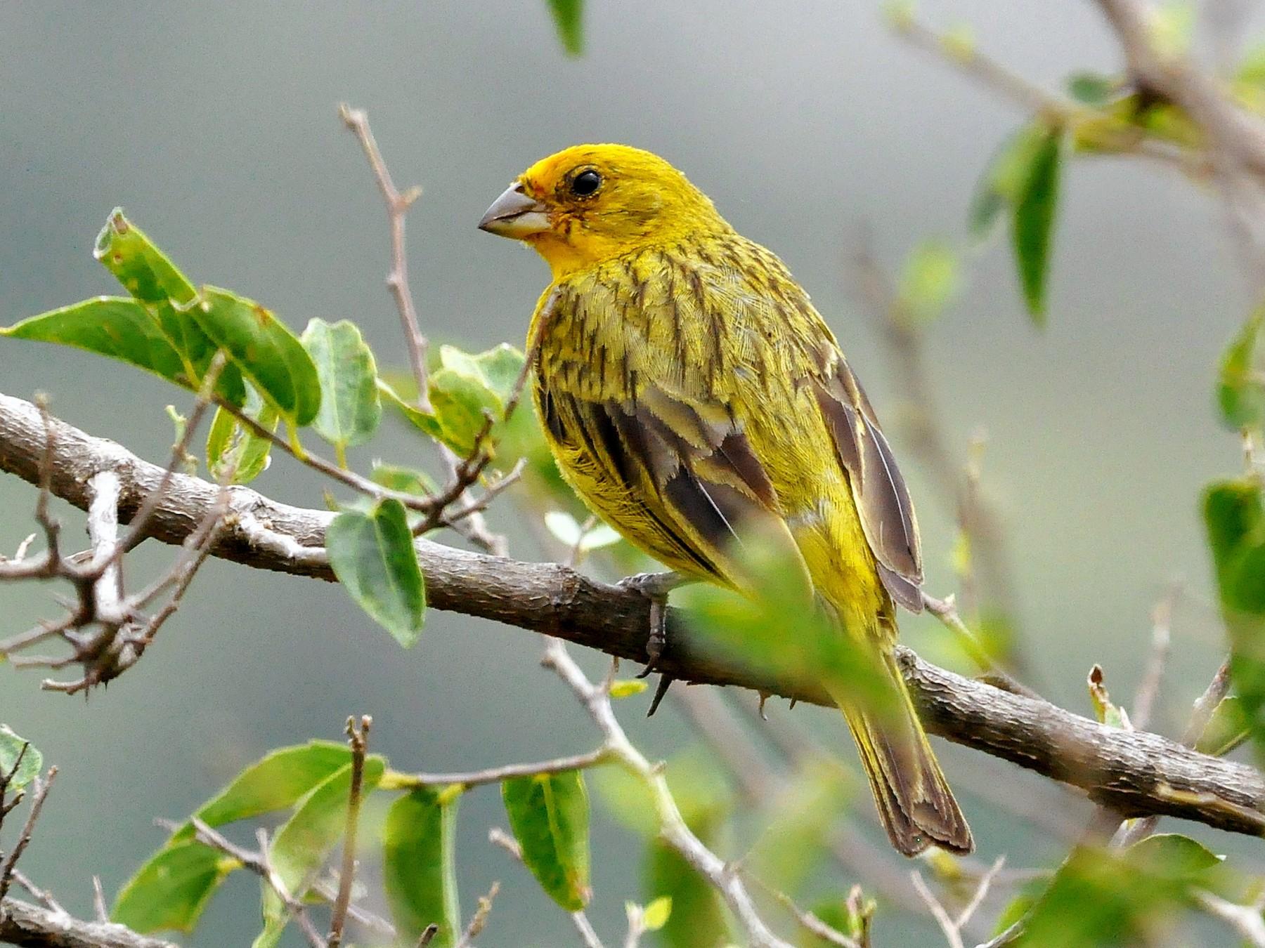 Saffron Finch - Fermin Zorrilla