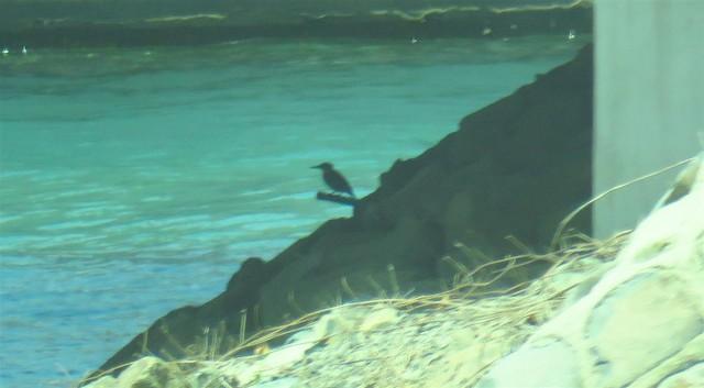 ©Miguel  Berkemeier - Common Kingfisher