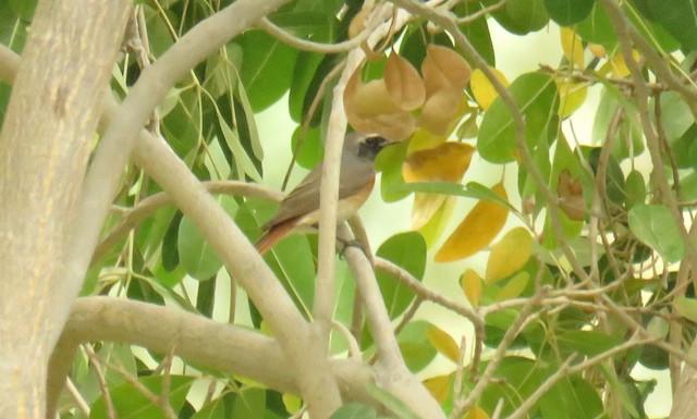 ©Miguel  Berkemeier - Common Redstart
