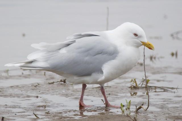 Iceland Gull (glaucoides/kumlieni)