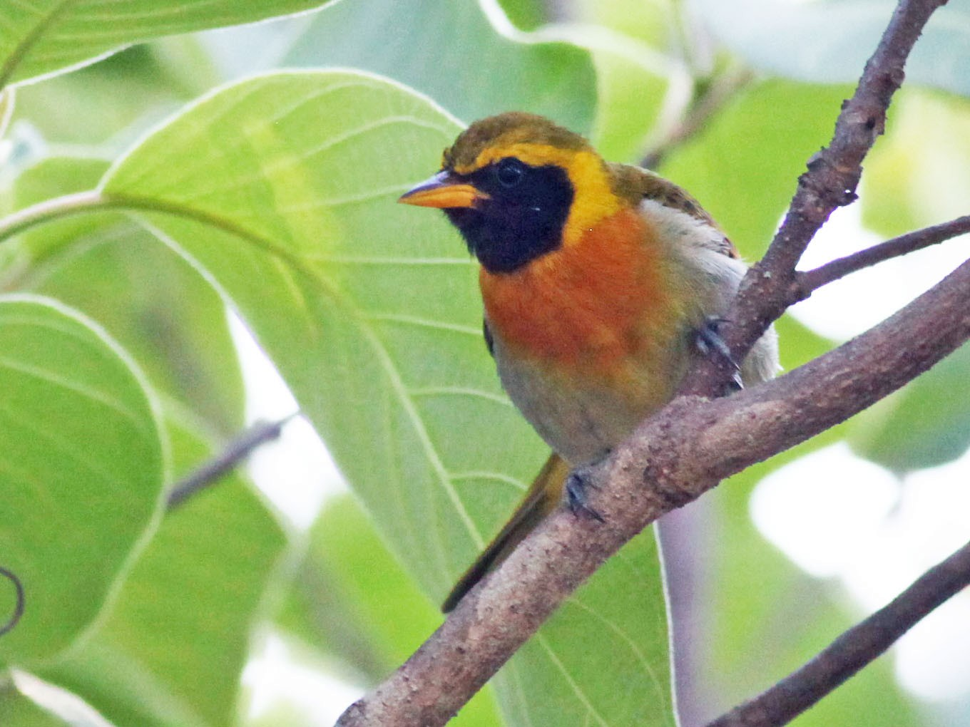 Guira Tanager - Scott (瑞興) LIN(林)