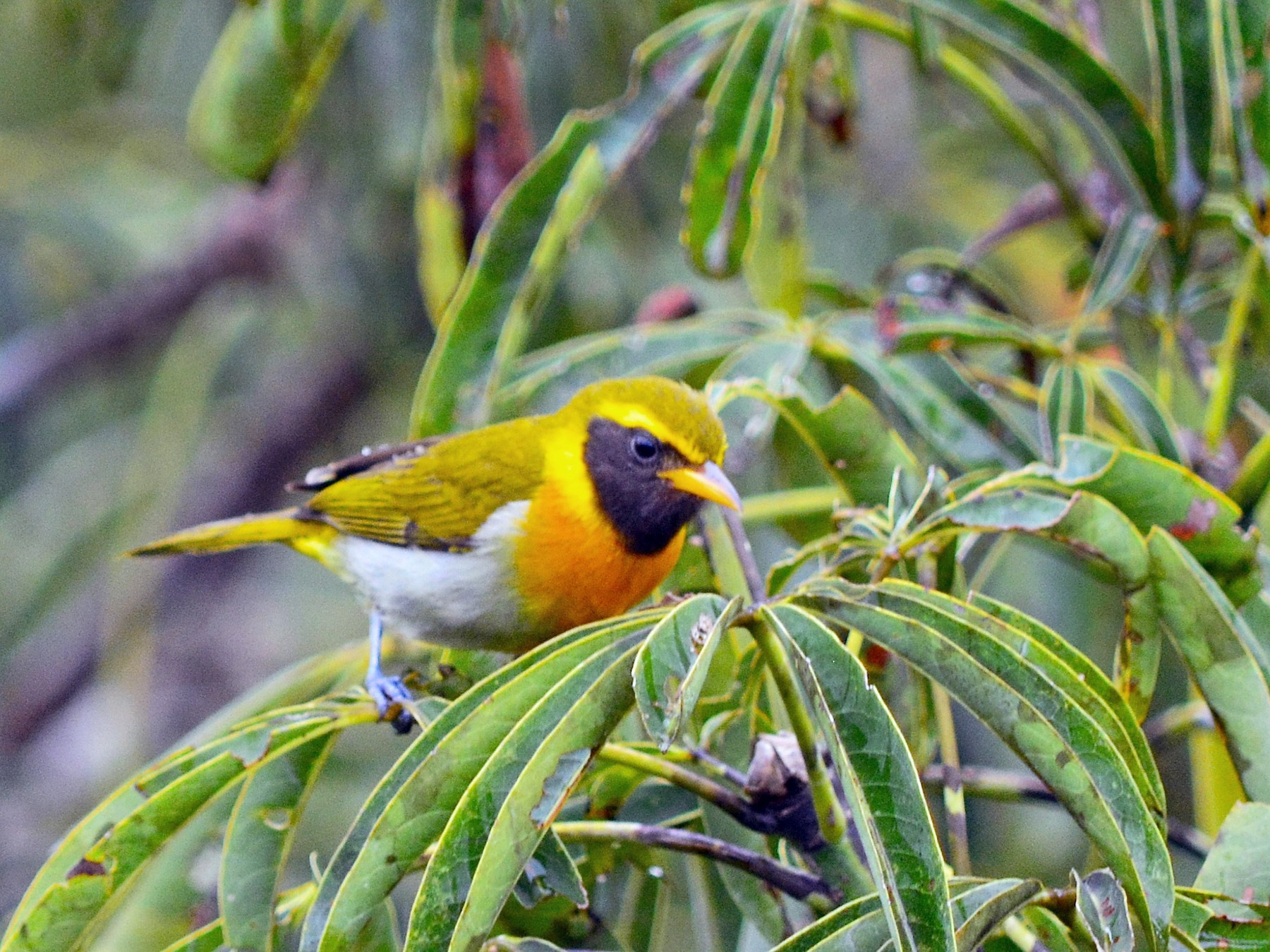 Guira Tanager - Ryan Treves