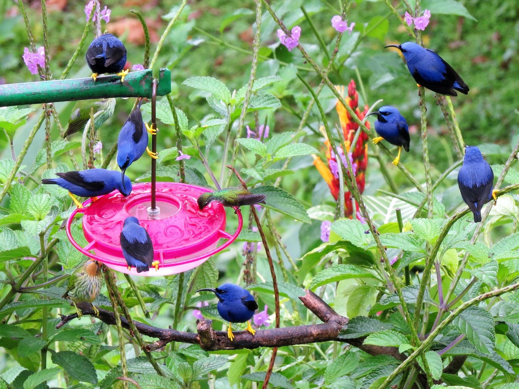 Purple Honeycreeper - John Gaglione
