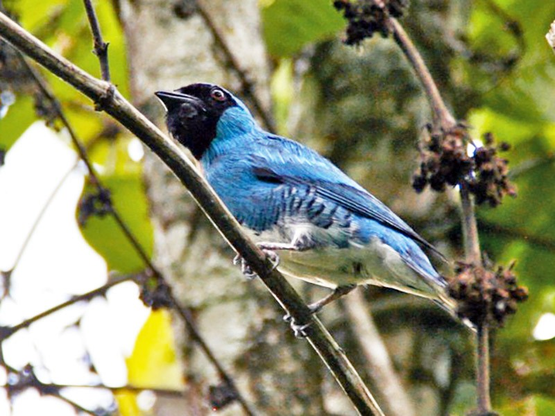 Swallow Tanager - Oscar Johnson