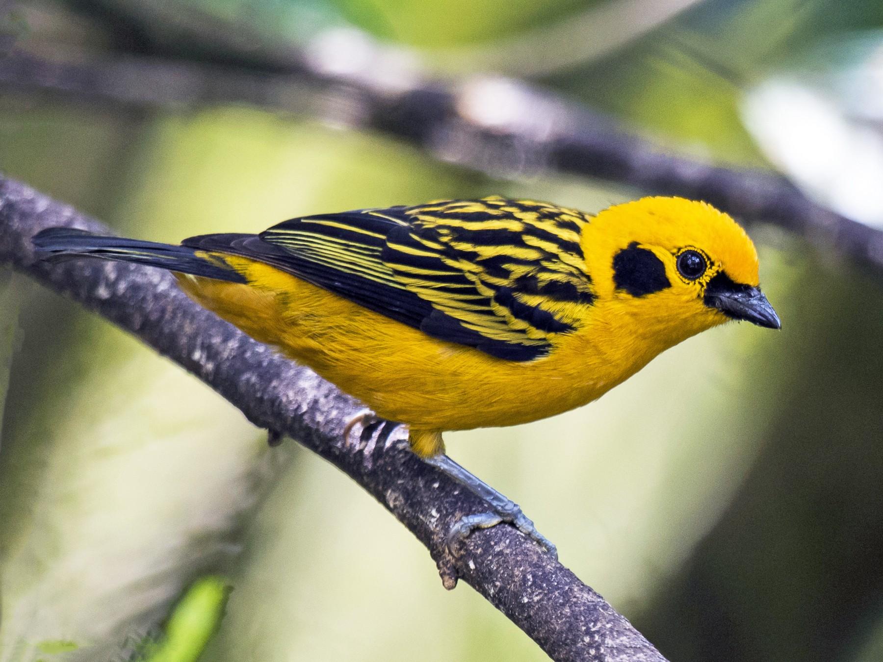 Golden Tanager - Claudia Brasileiro