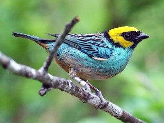 - Saffron-crowned Tanager