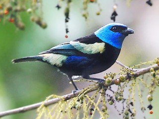 - Blue-necked Tanager