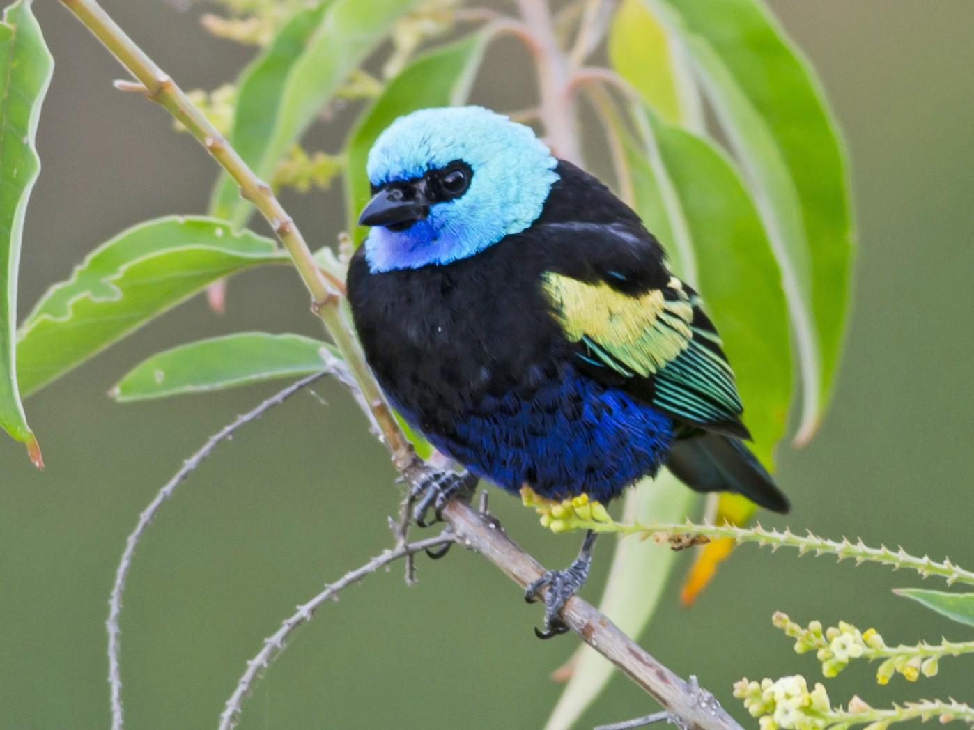 Blue-necked Tanager - Neil Diaz