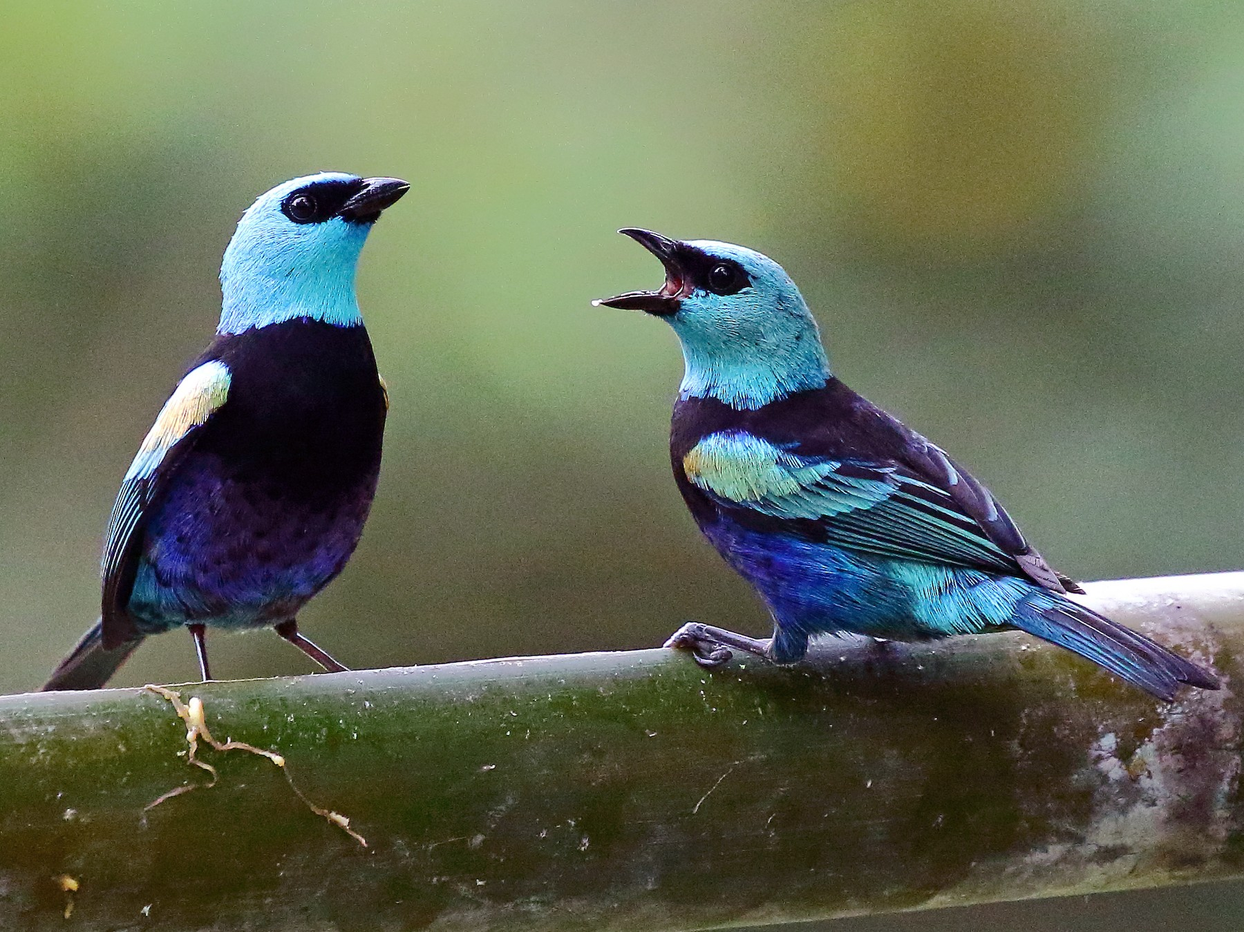 Blue-necked Tanager - Ryan Candee
