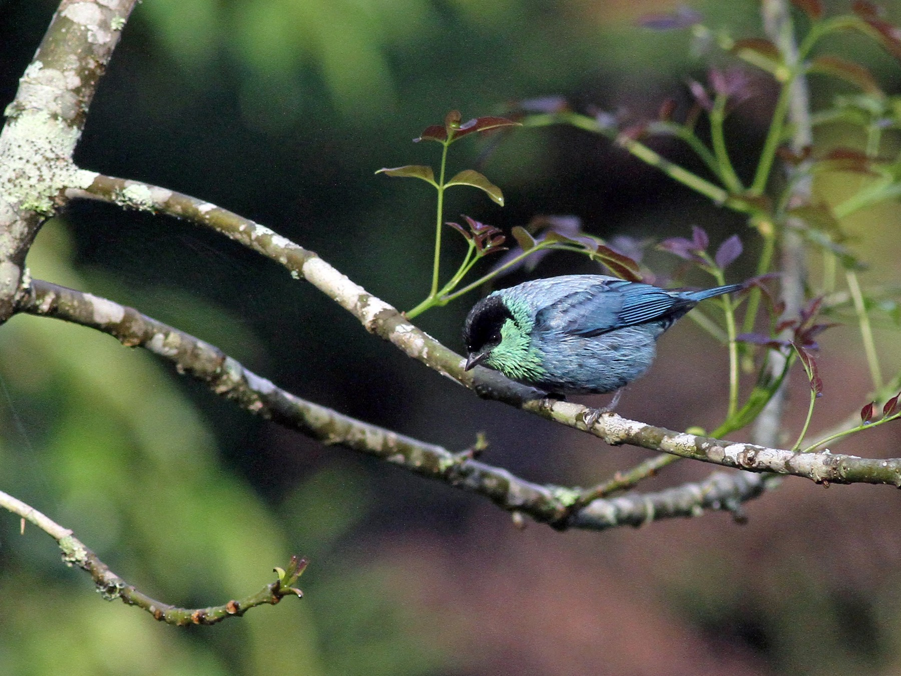 Black-capped Tanager - Michael McCloy
