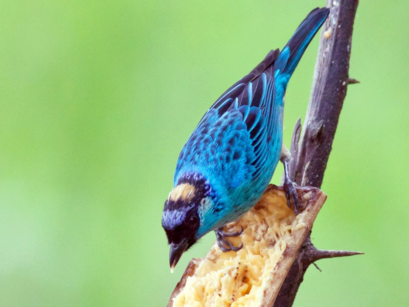 Golden-naped Tanager - Michael Todd