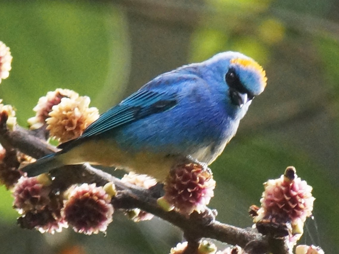 Golden-naped Tanager - Robin Oxley