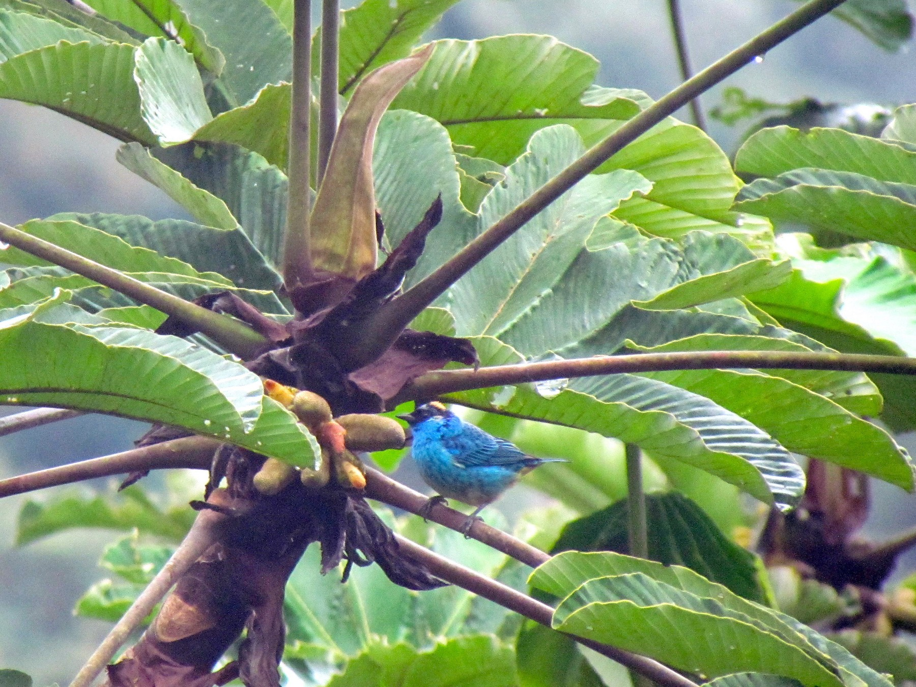 Golden-naped Tanager - Lisa Owens