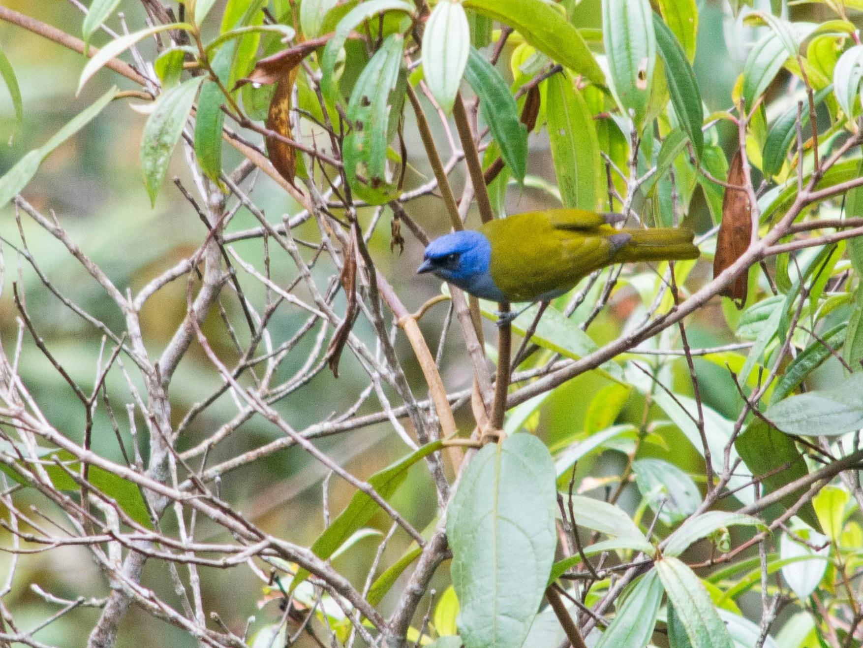 Blue-capped Tanager - Fernando Cediel Nacumero Birding