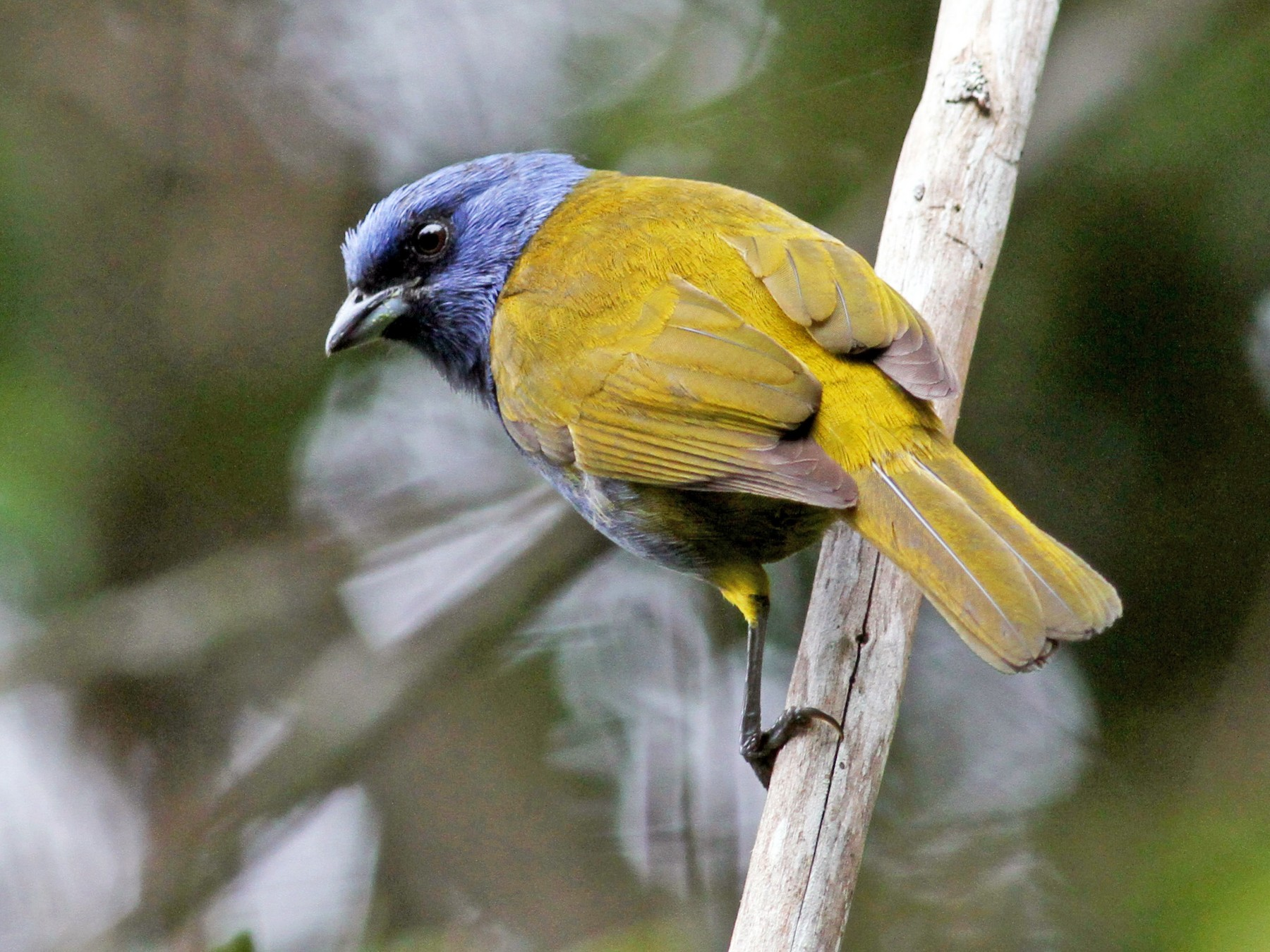 Blue-capped Tanager - Jay McGowan