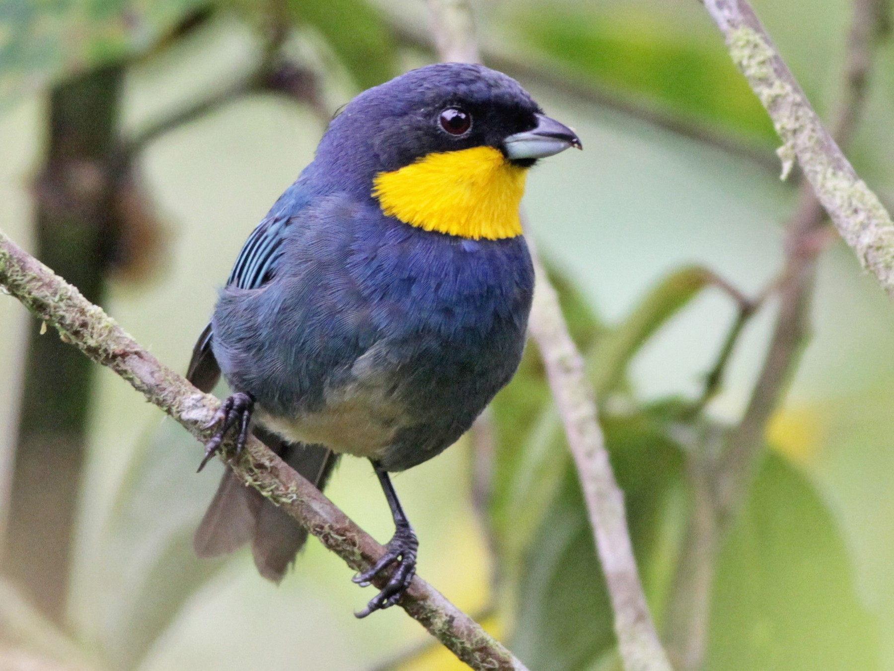 Purplish-mantled Tanager - Ian Davies