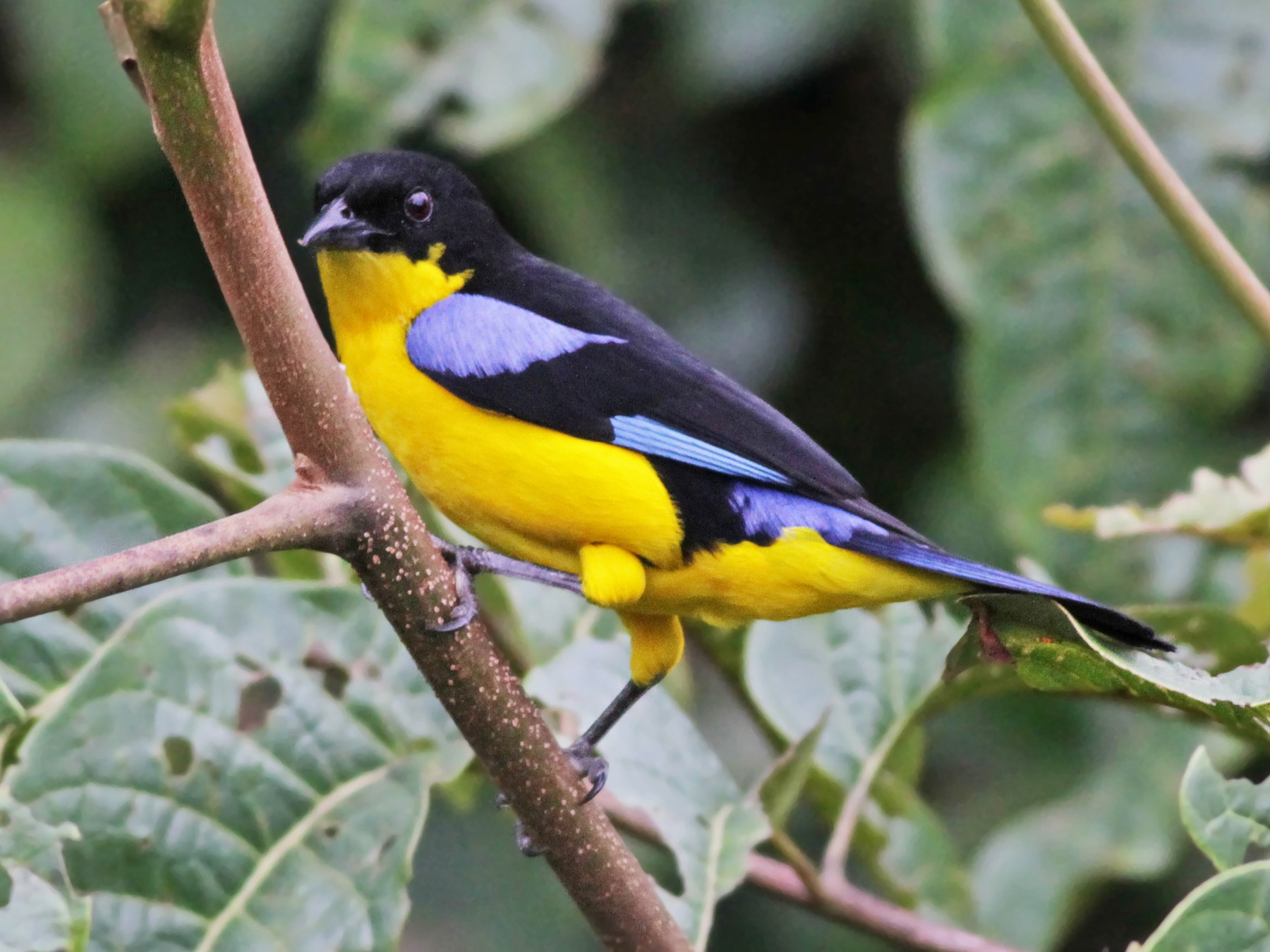 Blue-winged Mountain-Tanager - Ian Davies