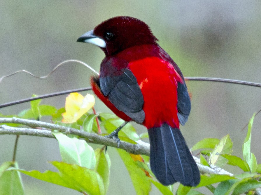 Crimson-backed Tanager - Penny Bauer