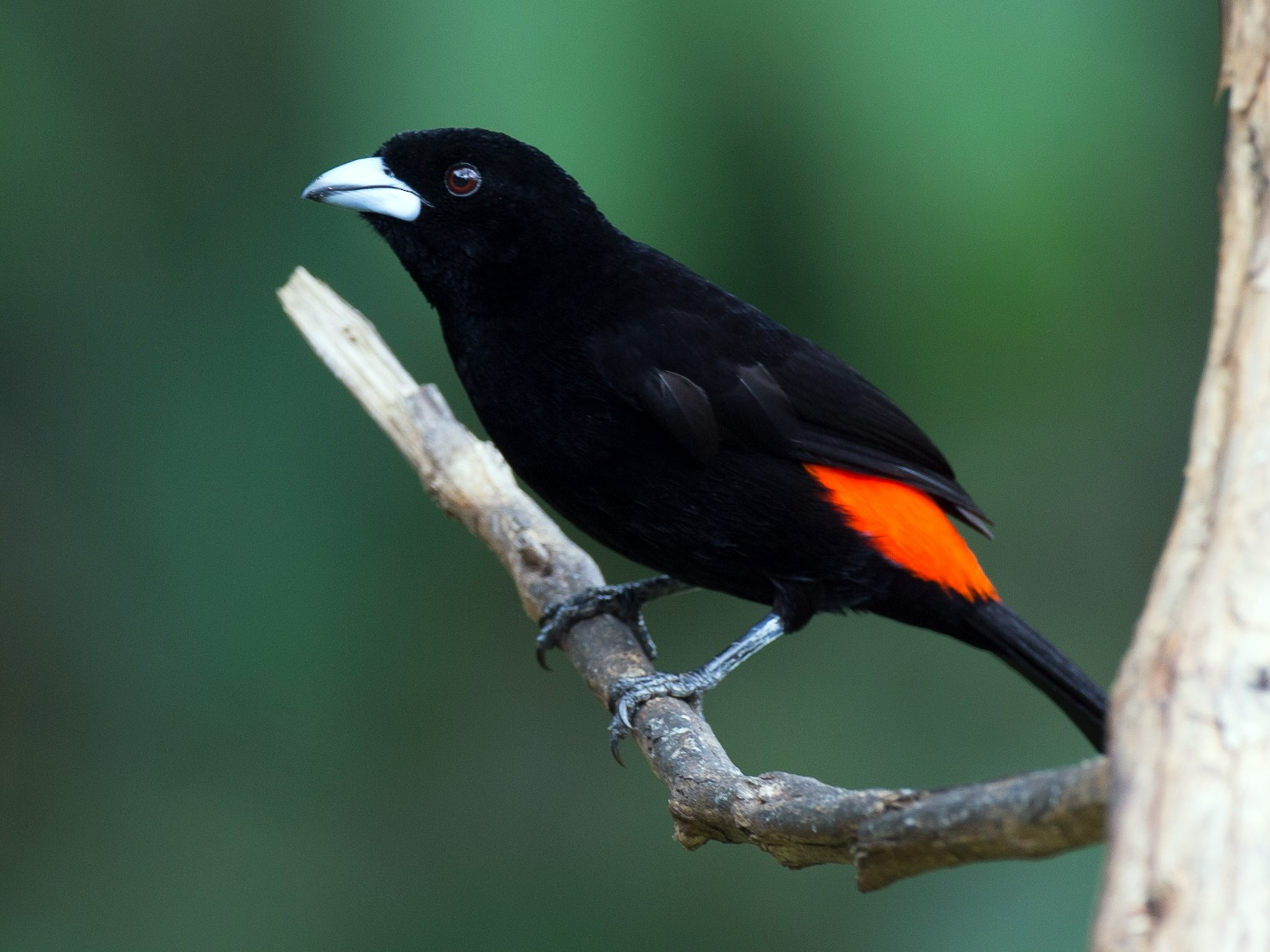 Flame-rumped Tanager - Chris Wood