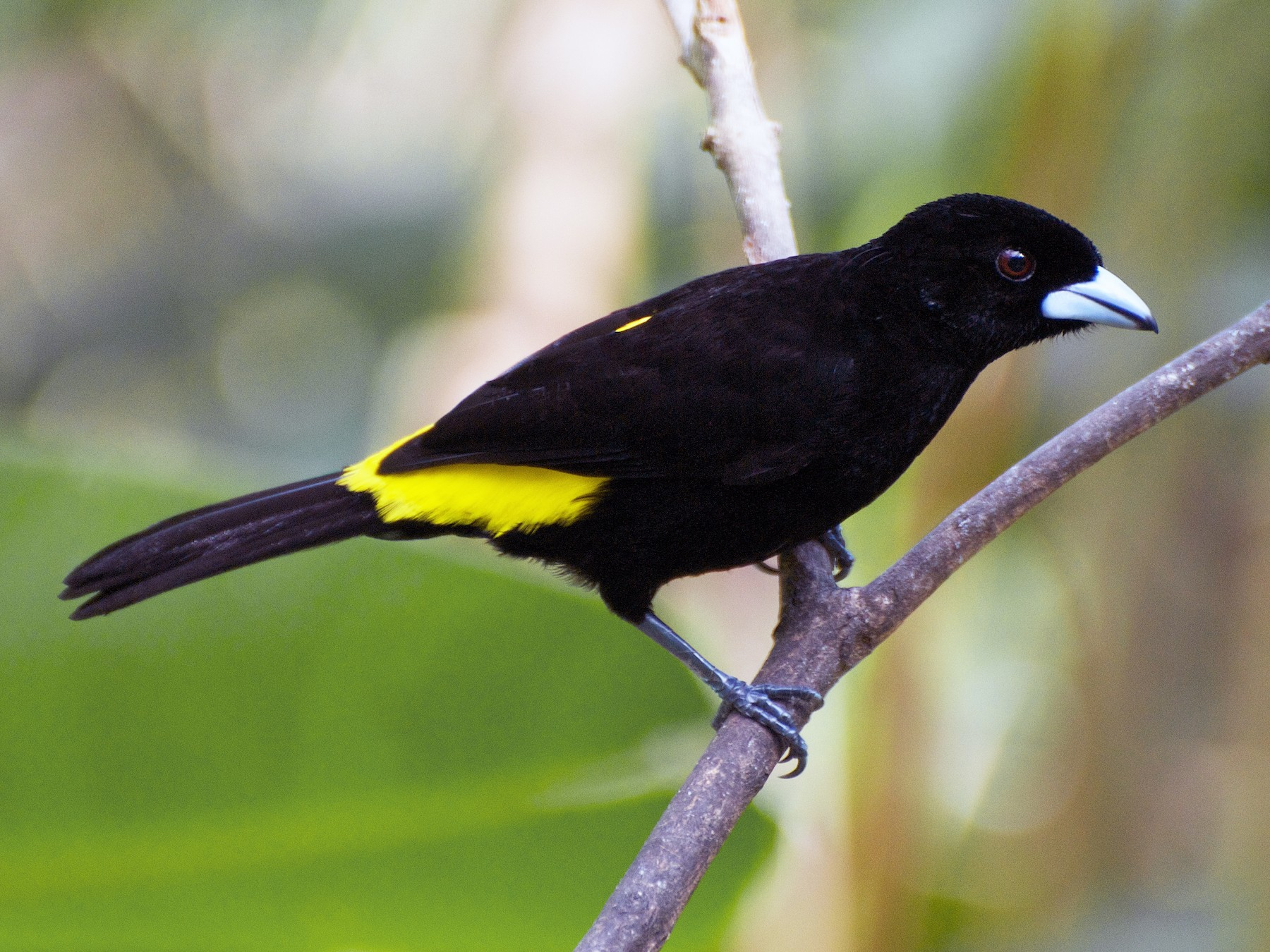Flame-rumped Tanager - Christian  Nunes