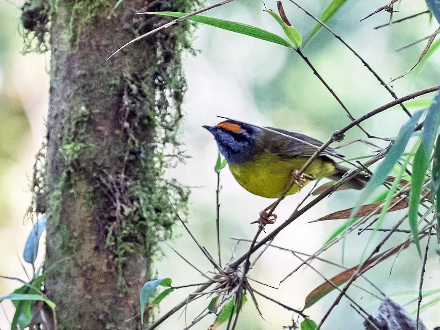 Russet-crowned Warbler - Ken Chamberlain