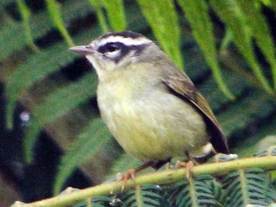 Three-striped Warbler - Carlos Otávio Gussoni