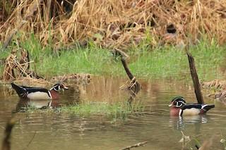 Wood Duck, ML55631351