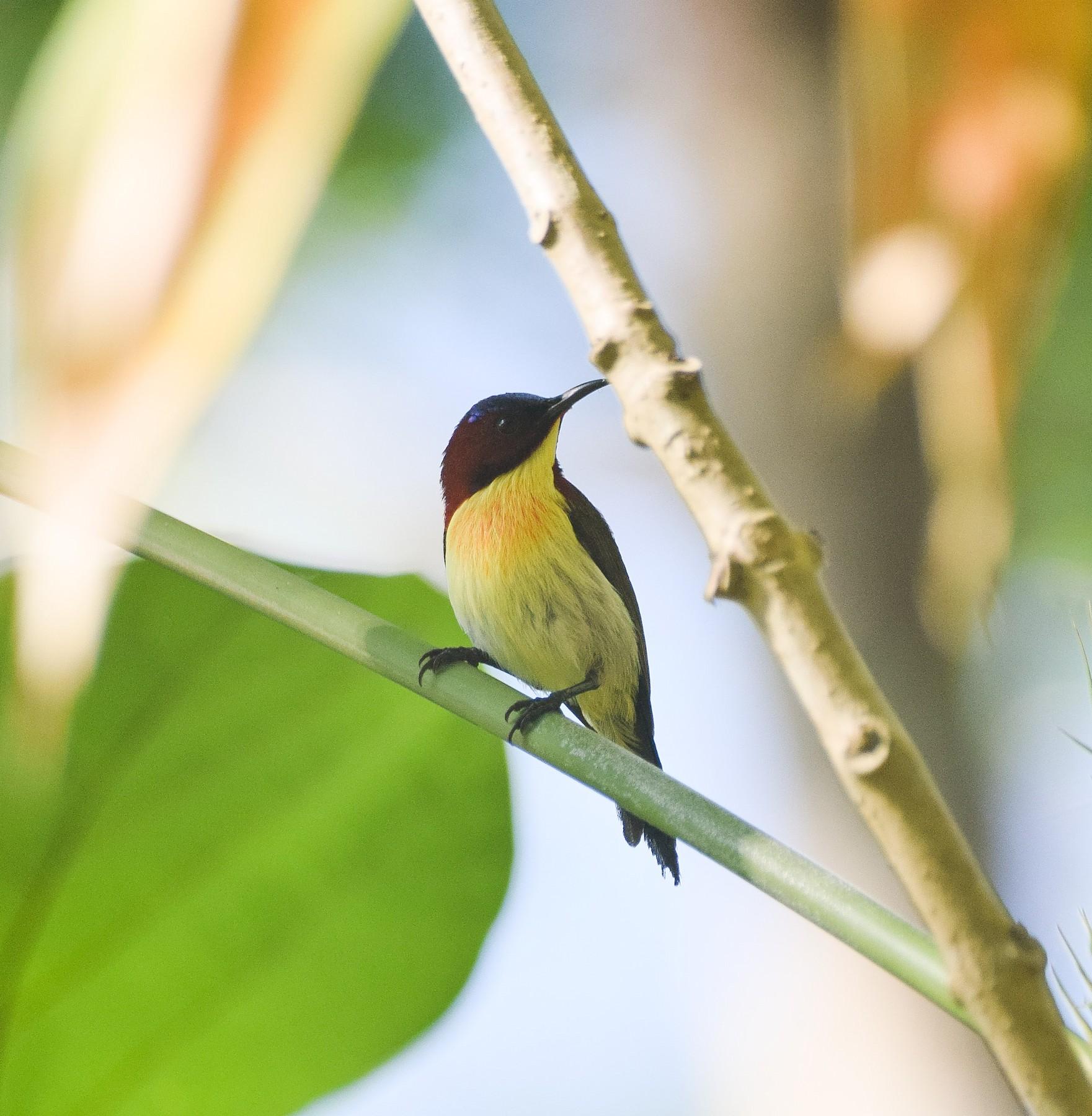 Lovely Sunbird - Mhark Gatela