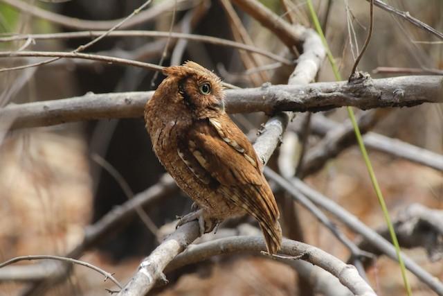 Peruvian Screech-Owl (pacificus)