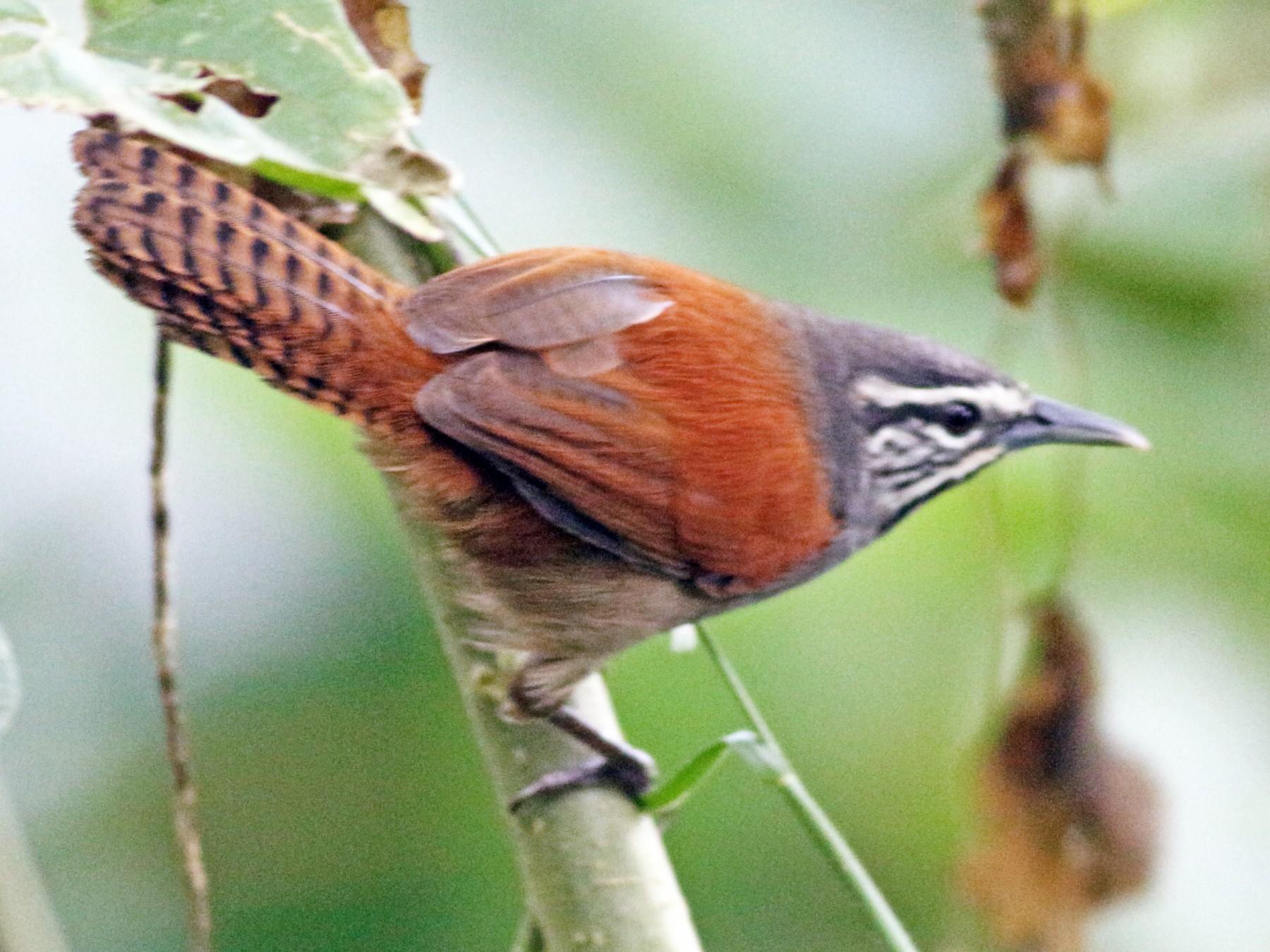 Whiskered Wren - Julian Zuleta (Organización Ambiental Vida silvestre)