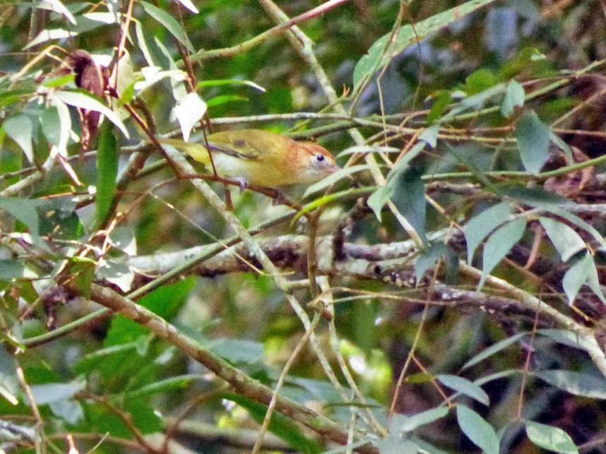 Rufous-naped Greenlet - Tinamú Birding Nature Reserve