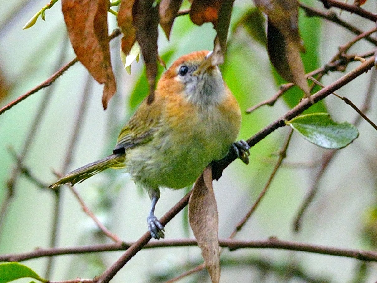 Rufous-naped Greenlet - Neil Diaz