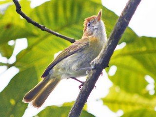 - Rufous-naped Greenlet