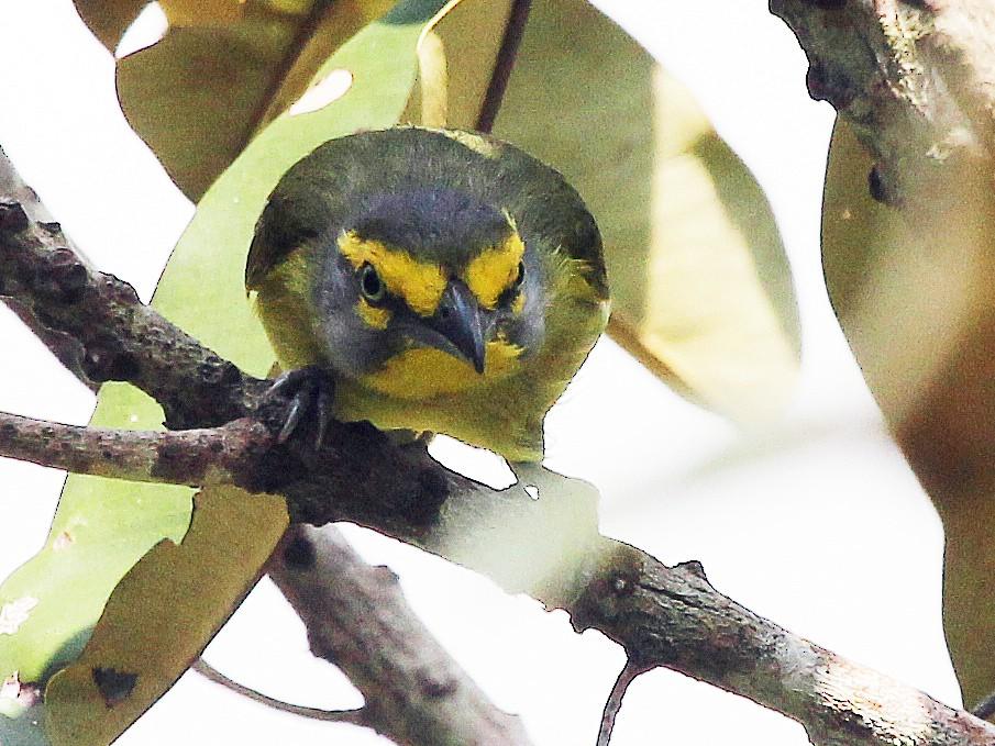 Slaty-capped Shrike-Vireo - Alexander Lees