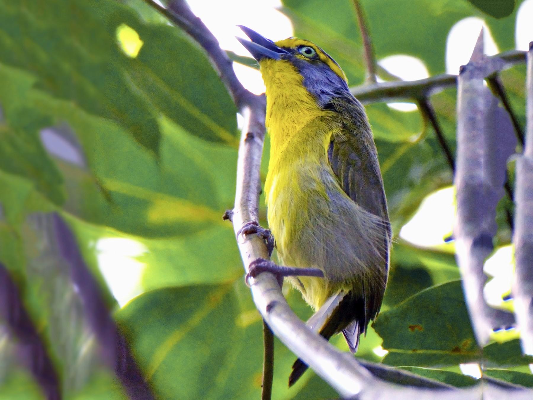 Slaty-capped Shrike-Vireo - Marcia Balestri