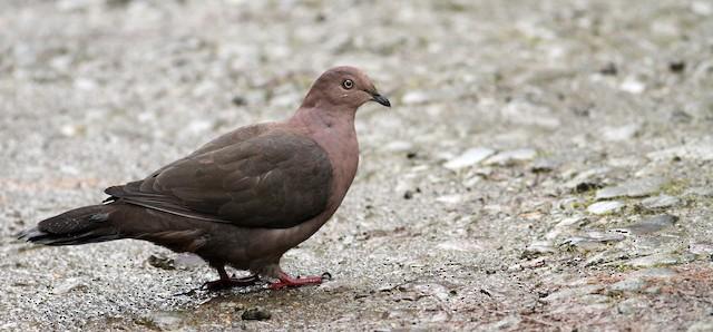 Plumbeous Pigeon