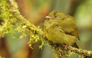 - Golden-winged Manakin