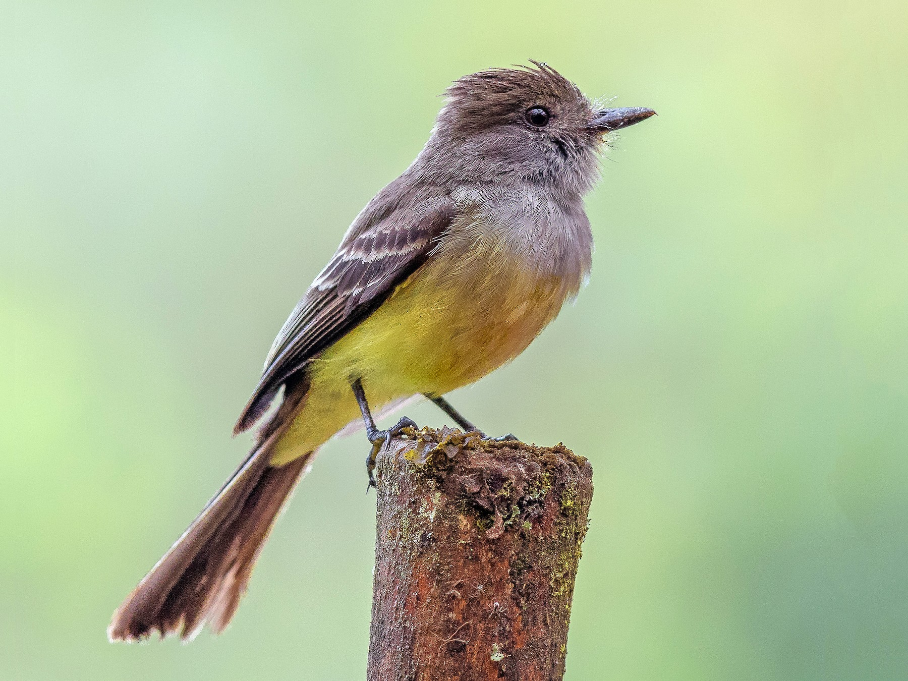 Pale-edged Flycatcher - Peter Hart