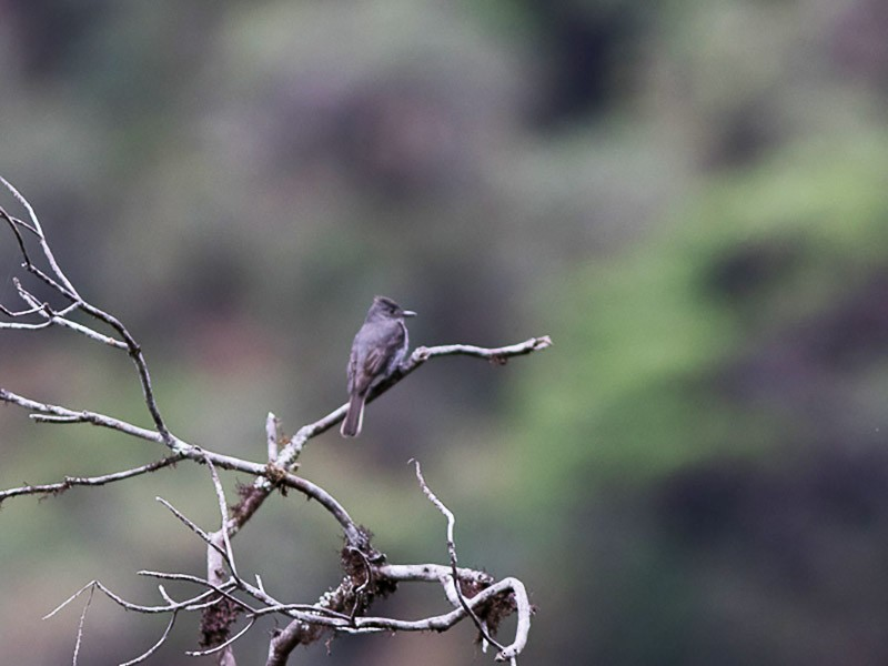 Smoke-colored Pewee - Silvia Faustino Linhares